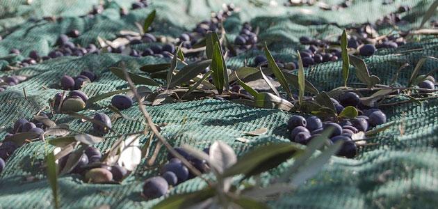 La CE prevé que la producción europea de aceite de oliva se sitúe en 2,1 millones de t. esta campaña