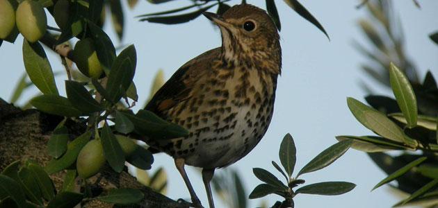 Un estudio revela la gran biodiversidad presente en el olivar andaluz
