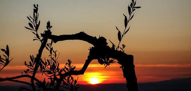 La superficie española de olivar ecológico ha aumentado un 16,1% respecto a 2012
