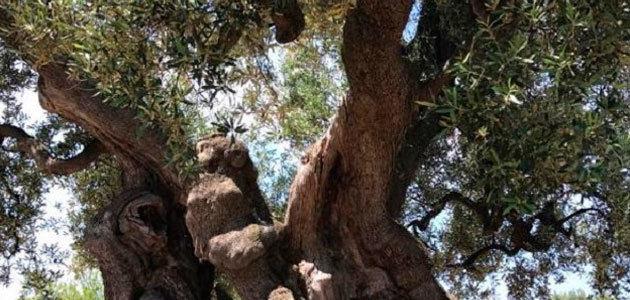 Plan extraordinario de regeneración del olivo de Puglia: 5 millones para los olivos monumentales