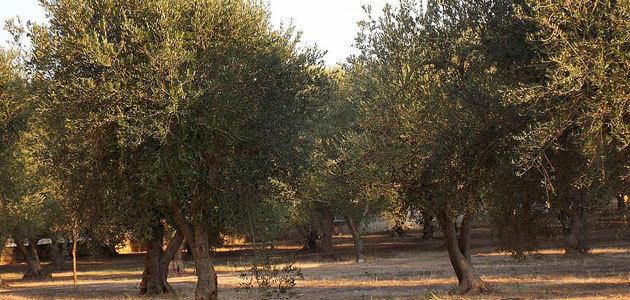 Nuevos pasos en la puesta en marcha de un plan extraordinario para la regeneración de los olivos de Puglia