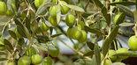 Ayudas de 120 millones de euros para la regeneración del olivar de Puglia