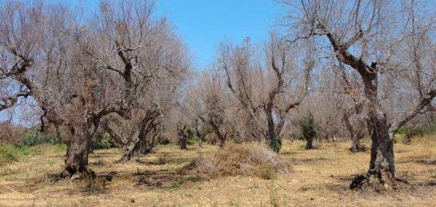 Olivicultores italianos alertan de que el 75% de las tierras de Puglia no se están tratando para contener la Xylella