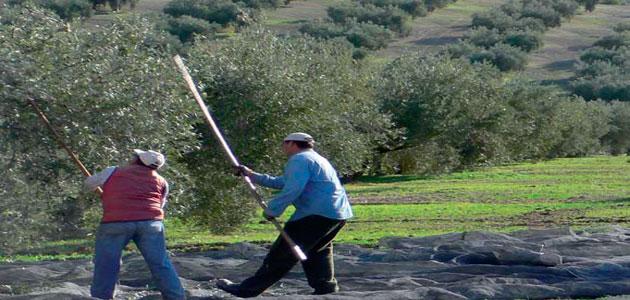 Andalucía anuncia test a los temporeros desplazados a la campaña de la aceituna
