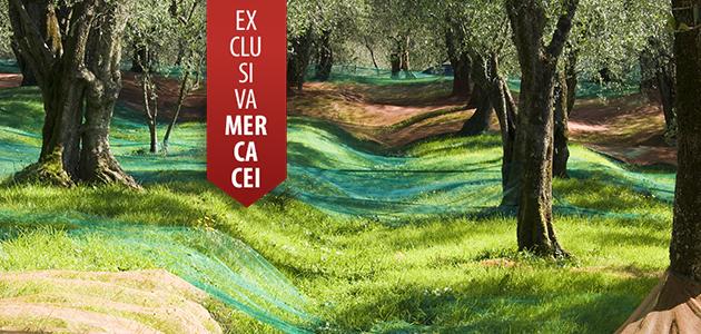La recolección de la aceituna en tiempos de COVID-19: un nuevo desafío para el sector oleícola