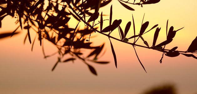 Andalucía y Extremadura suspenden la recogida nocturna de aceituna en olivares superintensivos