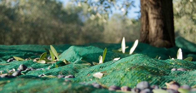 El momento óptimo de recolección en el olivar