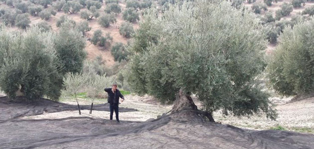 La gestión cooperativa del olivar reduce los costes de producción