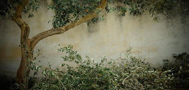 Obtienen compuestos procedentes de residuos del olivar que mejoran la flora intestinal