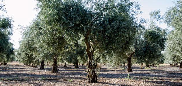La superficie regada de olivar en España aumentó un 2,32% en 2019
