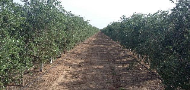 Desarrollan una herramienta de ayuda a la decisión de riego en olivar