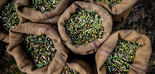 ¿Cómo afecta el cambio climático a la reducción de cosecha de aceituna?