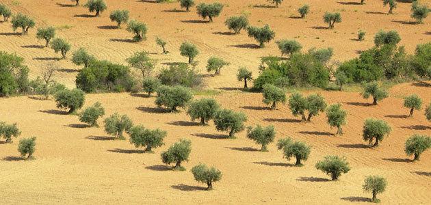 La producción asegurada en el olivar subió un 44% en 2019