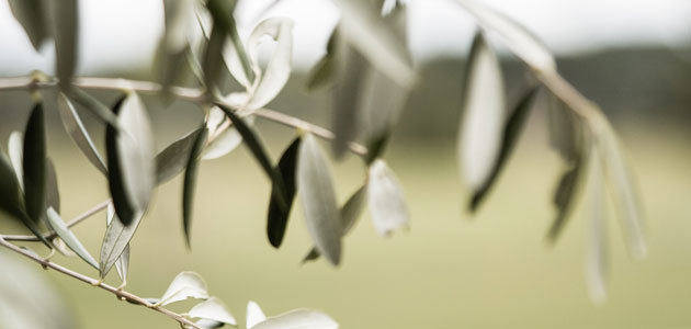 El 30 de septiembre será una fecha clave para el seguro del olivar