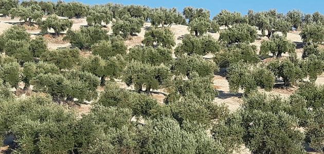 COAG alerta de que solo está asegurada la producción del 7,8% del olivar jiennense