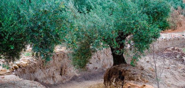 """""""Buenas 'malas hierbas' del olivar"""", la publicación que rescata el valor de las plantas silvestres en los olivares"""
