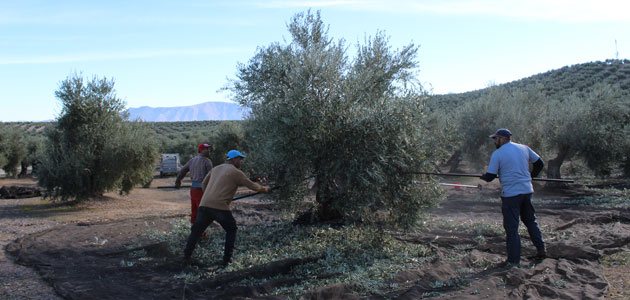 El bajo rendimiento lastra una buena campaña de aceituna en Sierra Mágina