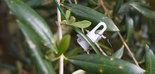Smart Irrigation, una solución para monitorizar el estado hídrico del olivar