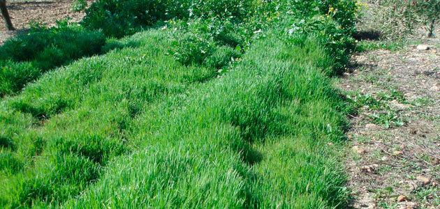 Miden la cantidad de suelo fértil que produce la cubierta vegetal del olivar