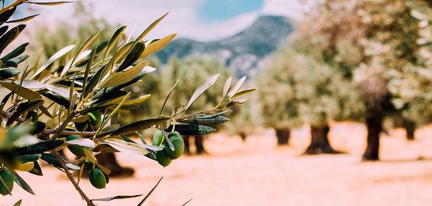 La superficie de olivar continúa su tendencia al alza en España y sube un 0,64%