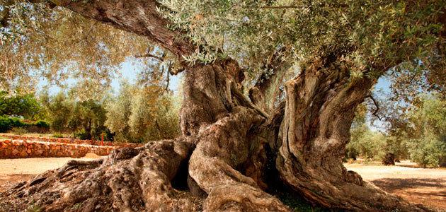 Los olivos milenarios del Territorio Sénia, reconocidos como Patrimonio Agrícola Mundial