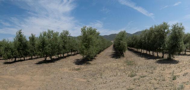 El olivar en seto, un gran aliado medioambiental en la lucha contra el calentamiento global del planeta