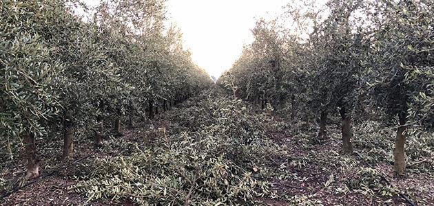 Todolivo impulsa la agricultura sostenible mediante la poda para el olivar en seto