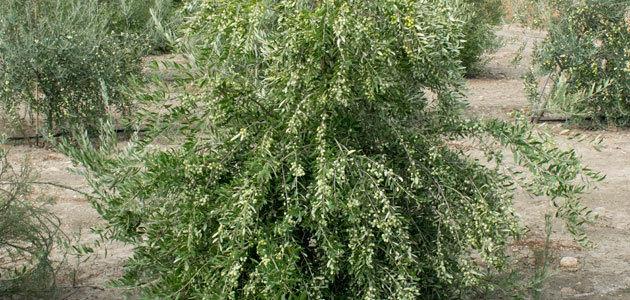 Todolivo revoluciona el mundo de la olivicultura con I-15P, una nueva variedad ideal para el cultivo en seto