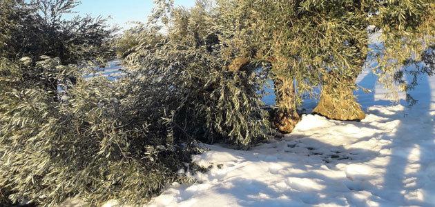 Castilla-La Mancha pone en marcha un plan de recuperación para el olivar