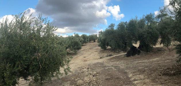 Cada año se transforma casi el 1,5% de la superficie mundial de olivar