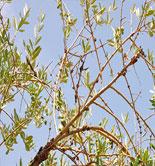 California examina los posibles tratamientos para prevenir la tuberculosis del olivo