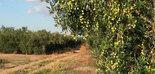 El sector oleícola de Túnez ante los desafíos del COVID-19