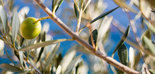 Turquía reducirá su producción de aceite de oliva un 26,5% esta campaña