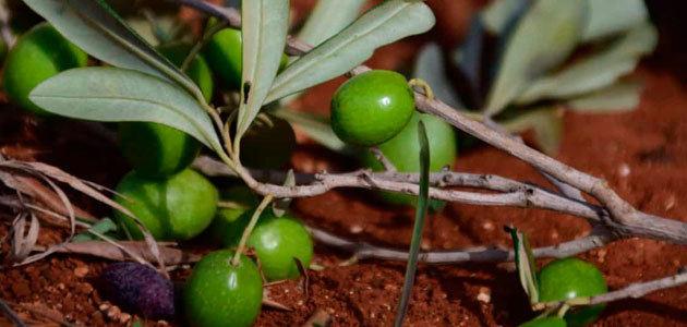 Unaprol alerta de la caída de los precios del aceite de oliva en Italia en un 40%