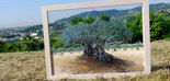 El Consejo Ejecutivo de la Unesco aprueba una resolución para declarar el 26 de noviembre Día Internacional del Olivo