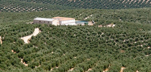 UPA alerta de que la producción española de aceite de oliva puede hundirse un 40% en la campaña 2019/20