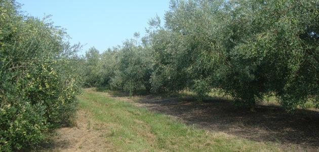 Las condiciones climáticas reducen un 66% la producción de aceite de oliva en Uruguay
