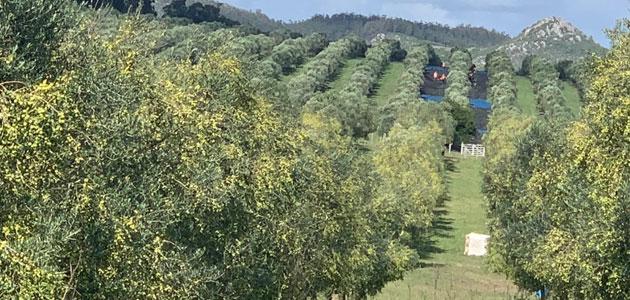 Uruguay prevé obtener una de las producciones de aceite de oliva más elevadas de su historia