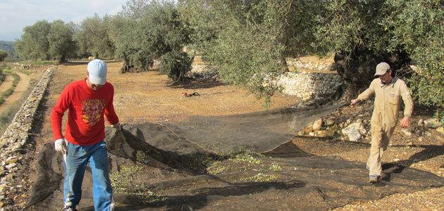 La Unió cifra en un 50% el descenso de producción de aceite de oliva en la Comunidad Valenciana