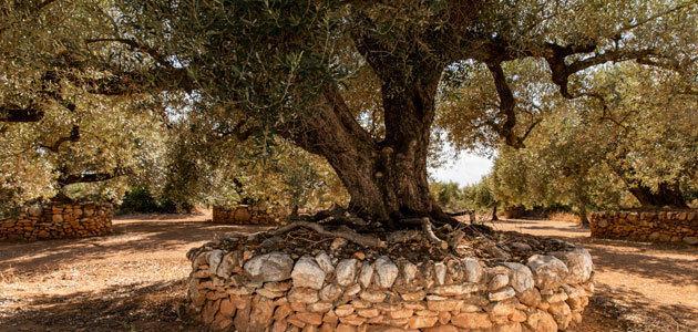 Las valonas de piedra seca para proteger los olivos, reconocidas por la FAO
