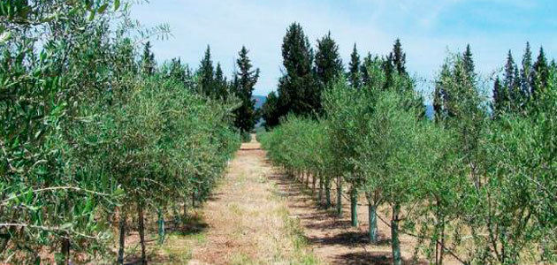 Prospectados 181 ejemplares de olivo en Andalucía para su análisis varietal