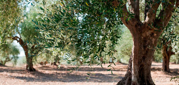 Identifican genes del olivo resistentes al Verticillium