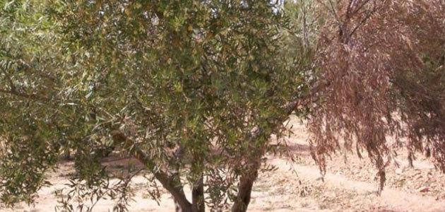 ¿Qué factores climáticos influyen en la incidencia de la verticilosis en el olivar?