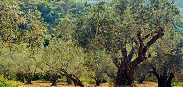 La verticilosis del olivo está impulsada por una comunidad de microorganismos que se alían para atacar el árbol