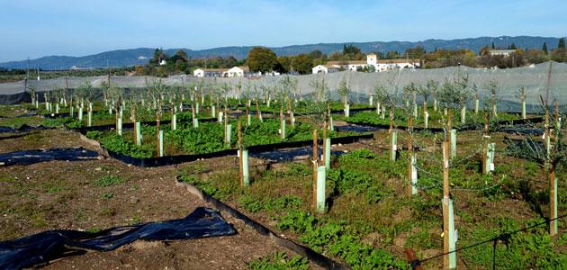 El Ifapa obtiene tres nuevas variedades de olivo más resistentes a la verticilosis
