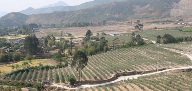 El olivo se abre camino en China