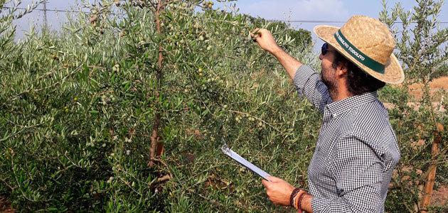 Identifican variedades de olivo con alto contenido en vitamina E