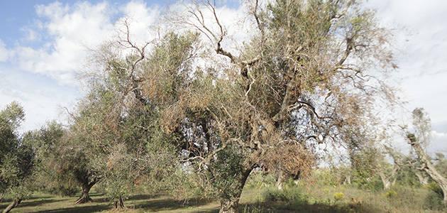 Andalucía reforzará el personal en sanidad vegetal para hacer frente a la Xylella fastidiosa