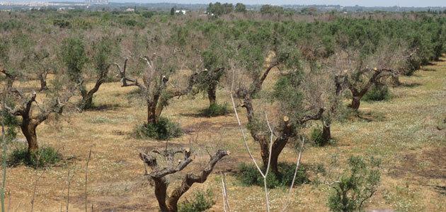 La región de Puglia lanza un paquete de medidas en relación a la Xylella fastidiosa