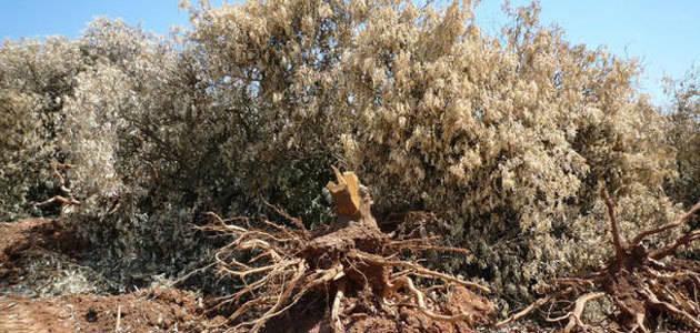 Extremadura desarrolla diversas actuaciones para evitar la introducción y propagación de la Xylella fastidiosa